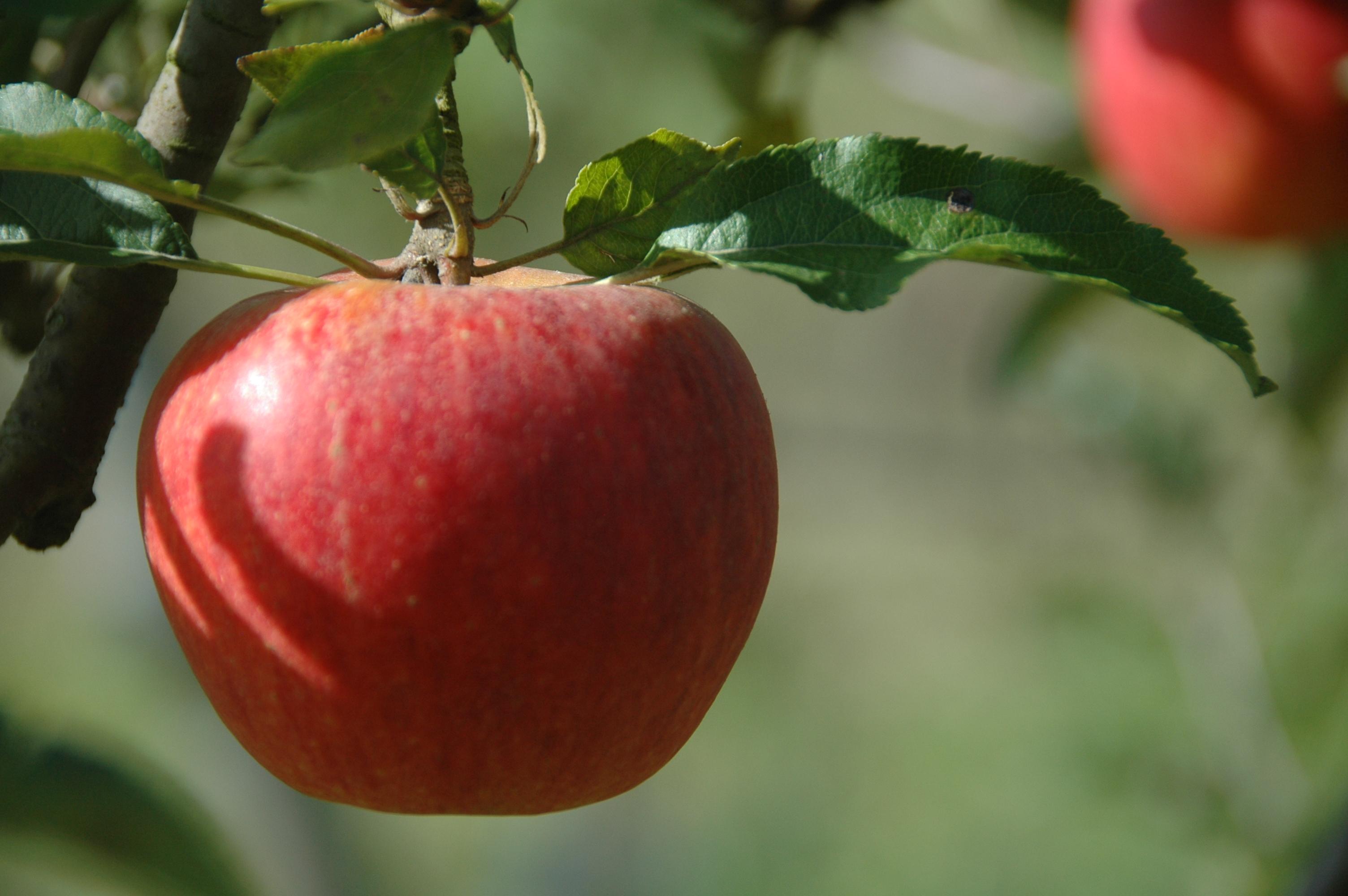 Pomme Gala Tarn