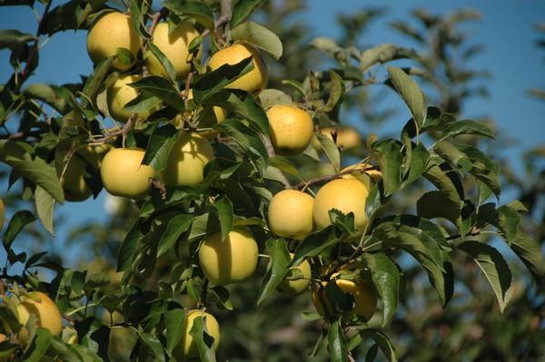 Pommes golden Tarn