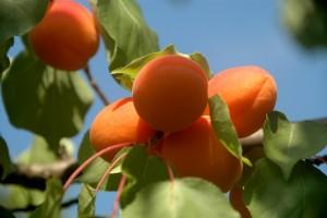 Abricots du verger