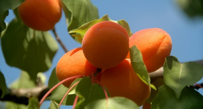 cueillette des pommes haute garonne